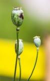 Opium Close-up Stock Photo