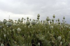 Opium Cultivation Royalty Free Stock Images