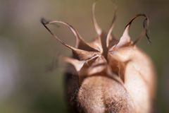 Opium drugs plant head stock photography