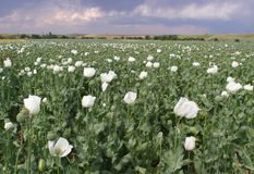 Opium Field Stock Photography