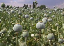 Opium Field. In Afyon,Turkey Royalty Free Stock Images