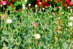 Opium field flower Stock Image