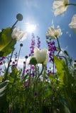 Opium field of konya Stock Photos