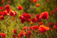 Opium field Stock Images