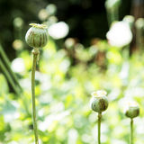 Opium had been slashed. Green opium had been slashed royalty free stock photo