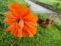 Opium kwiat Makowa roślina Duży czerwony makowy kwiat Opia zasadzają i są prześladowanym obrazy royalty free