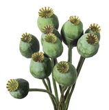 Opium Papaver Royalty Free Stock Photo