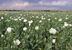 Opium pole Fotografia Stock