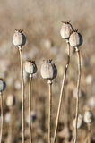 Opium Poppies Dried Capsules Royalty Free Stock Photography