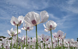 Opium poppies. In a field of poppies Stock Photos