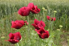Opium poppies Stock Photography