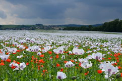 Opium popppy field Royalty Free Stock Image