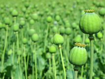 Opium poppy Royalty Free Stock Images