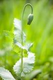 Opium poppy bud Stock Image