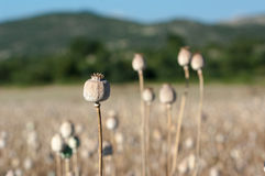 Opium Poppy Dried Capsules Royalty Free Stock Photos