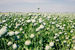 Opium poppy field Stock Photography
