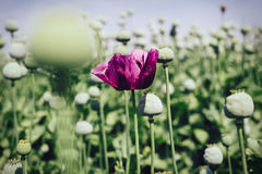 Opium poppy field Royalty Free Stock Images