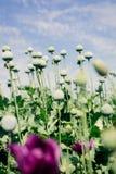 Opium poppy field Stock Image