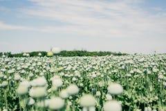 Opium poppy field Royalty Free Stock Photography
