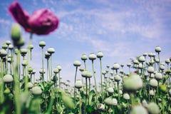 Opium poppy field Royalty Free Stock Image