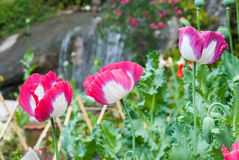 Opium poppy field Stock Photos