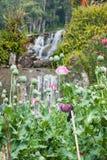 Opium poppy field Stock Images