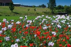 Opium poppy field in Czech Republic Royalty Free Stock Image
