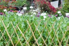 Opium poppy field Royalty Free Stock Photos