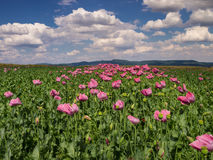 Opium Poppy field in full bloom Stock Images