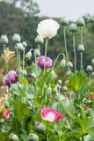 Opium poppy field Royalty Free Stock Photo