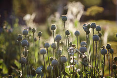 Opium poppy with field out of focus in background. Stock Image