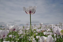 Opium poppy. In a field of poppies Royalty Free Stock Photo