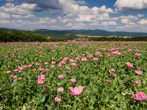 Opium Poppy field in a rural landscape Stock Photography