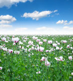 Opium poppy field Royalty Free Stock Photos