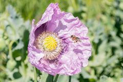 Opium poppy flower with bee stock photography