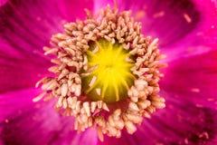Opium poppy flower Royalty Free Stock Photos