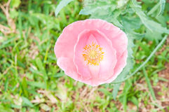 Opium poppy flower Royalty Free Stock Photography