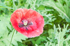 Opium poppy flower Royalty Free Stock Image