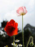 Opium poppy flower Royalty Free Stock Photos