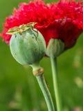 Opium poppy flower Stock Image
