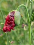 Opium poppy flower Royalty Free Stock Photography