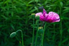 Opium poppy flower. Seeds in field, drug stock photos