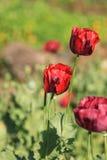 Opium poppy flowers Stock Photo