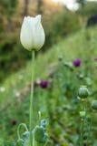 Opium poppy flowers. Beautiful white flowers opium poppy Royalty Free Stock Photography
