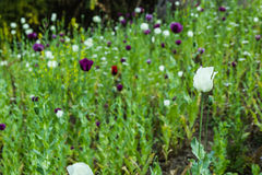 Opium poppy flowers Stock Photos