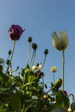 Opium poppy flowers. In field Stock Photos