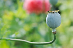 Opium poppy fruit Stock Photography