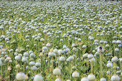 Opium poppy Royalty Free Stock Image
