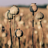 Opium poppy head, field out of focus in background. Royalty Free Stock Photo