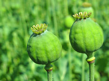 Opium poppy heads Stock Photo